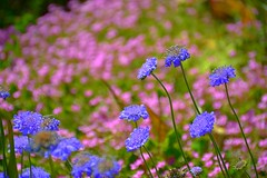 Opposites Attract (Kirt Edblom) Tags: pink flowers blue usa plant flower color macro green field closeup oregon outdoors nikon dof bright bokeh outdoor silverton scenic may depthoffield pacificnorthwest wife serene nikkor pnw hdr nikkon kirt 2016 willamettevalley oregongardens gaylene easyhdr bokehlicious silvertonoregon edblom 56 nikkonlenses nikond7100 nikkor18140mmf3556 kirtedblom