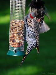 "Hairy Woodpecker Meets Northern (Yellow-shafted) Flicker (""Just an ol' nature boy takin' a picture"") Tags: male bird nature animal woodpecker birdfeeder feeder peanuts peanut fujifilm flicker hairywoodpecker northernflicker yellowshaftedflicker xs1"