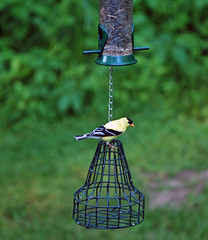 American Goldfinch at the feeder (mbyler13) Tags: wild bird nature outdoors backyard flickr goldfinch american