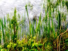 verdure (zventure, off/on) Tags: eau arbres extrieur fort flou bois feuilles flore fleuve fil abstrait aube alpesmaritimes buissons bordsduvar zventure
