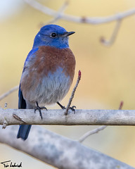 _MG_1280.jpg (tjludwick) Tags: california bird us unitedstates bluebird visalia westernbluebird