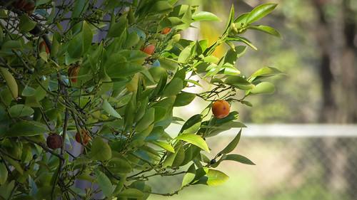 Ornamental Kumquat