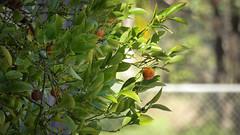 Ornamental Kumquat (Theen ...) Tags: adelaide bokeh entrance fence fruit green greenhillroad healthy kumquat leaves little lumix orange ornamental shadow sun theen tree