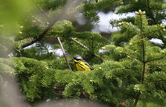 Magnolia Warbler (jd.willson) Tags: nature birds wildlife birding maine magnolia jd warbler willson islesboro jdwillson