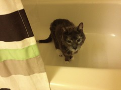 Jean Luc (about 21 years old) (historyguy2008) Tags: old cat bath gray kitty elderly tub jeanluc