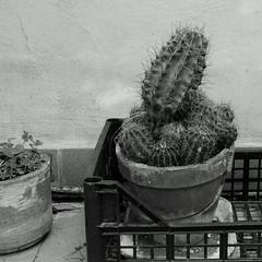 Urban green N.2: Echinopsis B&W (sandroraffini) Tags: bw echinopsis cactus urban green terraces details shapes plants patterns surfaces
