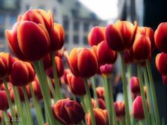 Amsterdam tulips (einervonneruhr) Tags: flower netherlands amsterdam dof bokeh blumen olympus tulip omd niederlande tulpen 1250mm em5 mzuiko