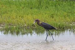 reddish_egret_7Dii0803 (cold_penguin1952) Tags: birds wetlands egrets marshes reddishegret