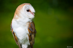 Barn Owl (Tyto alba). (_Anathemus_) Tags: portrait animal barn nikon alba bokeh ngc d750 prey nikkor addiction 70200mm tyto