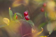Rosa palustris (louisa_catlover) Tags: autumn plant art nature floral rose fruit canon garden botanical eos flora dof artistic bokeh outdoor may rosa australia melbourne victoria 100mm depthoffield shrub rosehips olinda dandenongs dandenongranges macrolens 2016 rosaceae swamprose rosapalustris piriandagardens pirianda 60d