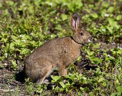 Rabbit, Gander Cross-country Ski Trail (frank.king2014) Tags: ca canada rabbit gander newfoundlandandlabrador
