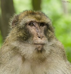Singe Magot - Monkey Magot (Kaya.paca) Tags: portrait mountain nature animal monkey libert fort singe macaque exterieur