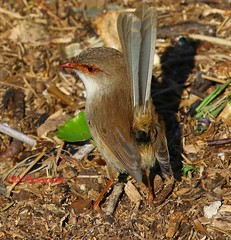 Superb Fairy-wren (Malurus cyaneus Maluridae) (paulberridge) Tags: bird birds wren fairy superb blue brown nature wildlife photography sydney australia