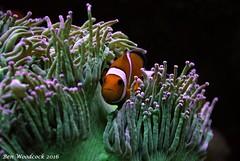 Clown In Elegance (SausageArm) Tags: orange fish water coral aquarium nikon marine aqua tank nemo clown salt clownfish salty aquatic reef reefs elegance aquatics d90 18105mm catalaphyllia
