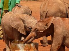 Elephants Having a Drink! (Mara 1) Tags: africa red water outdoors babies tank kenya earth orphanage daphne elephants sheldrick