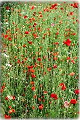 2016-06-14_04-25-08 (Reza Ganjehi) Tags: beautiful poppy rea redpoppy nature garden landschaft fieldsofred wildflowers wildpoppies poppyfield beauty petals serene