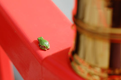 3 (  / Yorozuna) Tags: red color green shrine frog niigata   treefrog vermilion yellowgreen nagaoka         inarishrine     hylajaponica   japanesetreefrog     pentaxautotakumar55mmf18   houtokusaninaritaisha houtokusaninarishrine