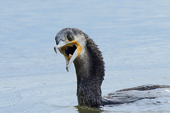 Aagh! (M_squared Images) Tags: france cormorant phalacrocoraxcarbo gironde leteich parcornithologiqueduteich msm1935 ornithologicalparkofleteich