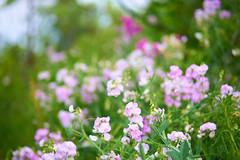 Wild Bean Flowers (AncasterZ) Tags: canada bokeh hamilton bean wildflower ef85mmf18usm