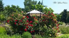 Balcic (Aly D.) Tags: balchik balcic bulgaria gradina garden flori flowers trandafiri roses jardin