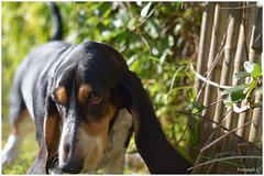 almennnn (Fernando Casais) Tags: dog aire libre outdoor pets basset batata