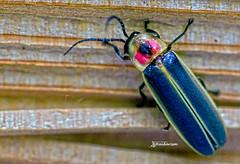 Beetle (haidarism (Ahmed Alhaidari)) Tags: insect bug animal beetle outdoor nature bokeh depthoffield sonya65 macro macrophotography ngc