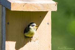 Mom! I'm coming out now! (Suvi Heinonen) Tags: bluetit chick birdhouse leaving million