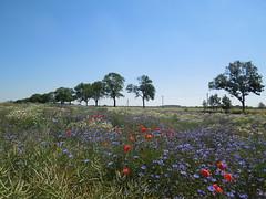 Blumenmeer (conticium) Tags: field feld meadow blumen poppy marguerite greenfield grassland cornflower kornblume acker klatschmohn margeriten blumenmeer plötzin magerwiesenmargerite