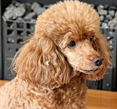 Self Adornment! (Donna JW) Tags: dog poodle pet miniaturepoodle redpoodle milo picmonkey