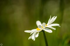 DSC06821 (mortelette.david) Tags: flower fleur dof bokeh m42 marguerite jupiter flou calme 37a vintagelens profondeurdechamp sovietlens flowercolors jupiter37a135mmf35 zcg