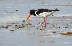 What's on the menu for today? (Elisa1880) Tags: sea bird beach netherlands strand den nederland zee hague oystercatcher haag eurasian vogel the kijkduin scholekster haematopus ostralegus