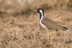 Avefra India (ik_kil) Tags: india birds lapwing redwattledlapwing vanellusindicus vanellus keoladeo keoladeonationalpark birdsofindia rajasthn avefraindia