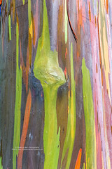 Rainbow tree 1 (PIERRE LECLERC PHOTO) Tags: life trees tree nature colors forest wow happy hawaii amazing rainbow colorful natural awesome joy happiness bark kauai eucalyptus magical rainbowtree pierreleclercphotography