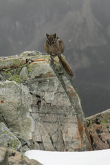 Friends in high places (MetallYZA) Tags: canada mountains rockies hiking rando chipmunk alberta banff lakelouise rocheuses montagnes randonne tamia 2016 sentinelpass colsentinel