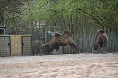 Chester Zoo (677) (rs1979) Tags: zoo chester chesterzoo bactriancamel asiansteppe