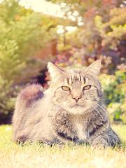 Tiger (DanielHiller) Tags: katze cat pussy pussycat tier animal kater outdoor garten garden elegant wildlife sun sunshine gras green baum tree deutschland germany nikon d3100 gimp bildbearbeitung