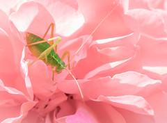 Young bush cricket (wigerl - herwig ster) Tags: light flower green nature rose austria licht österreich europa europe fuji foto natur young rosa kärnten carinthia grün juvenil tiffen zart heupferd feldkirchen bushcricket fühler fujixt1 fujixc18135mm