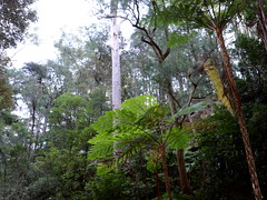 Sydney Red Gum (Angophora costata) now 45 metres tall