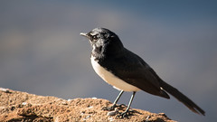 Willie Wagtail (Merrillie) Tags: bird nature animal fauna outdoors photography nikon waterfront natural outdoor wildlife australia nsw newsouthwales centralcoast wagtail woywoy williewagtail d5500 nswcentralcoast centralcoastnsw