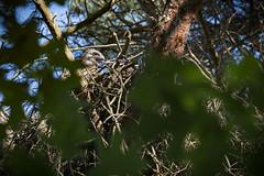 Juvenile Buzzard (Erik de Klerck) Tags: tree bird nikon nest young buzzard juvenile birdofprey jong d800 buizerd 300mmf4 commonbuzzard juvenilebuzzard