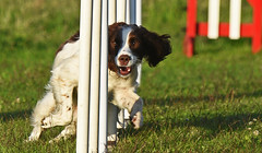 In's and Out's!! (MWBee) Tags: warrington nikon cheshire gates moore agility d750 spaniel springer springerspaniel poles moorecameraclub mwbee