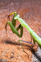 Mantis. (CyberDEL1) Tags: mantis greece macedonia timeless macedonian makedonia  metz44af1 samsungnx1 samsungnx60mmmacro