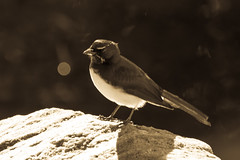 Willie Wagtail in black and white (Merrillie) Tags: blackandwhite bird nature monochrome animal fauna outdoors photography nikon waterfront natural outdoor wildlife australia nsw newsouthwales centralcoast wagtail woywoy williewagtail d5500 nswcentralcoast centralcoastnsw