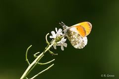 Schmetterling 138 (rgr_944) Tags: macro butterfly tiere natur papillon insekten schmetterling canoneos60dcanoneos70d rgr944