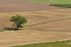 Baum im Feld (vivalatinoamerica) Tags: hessen sommer landwirtschaft feld landschaft baum acker ernte agrar getreide getreidefeld stoppelfeld kulturlandschaft