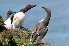 Guillemots (James Lees Photography) Tags: nature birds wildlife pembrokeshire britishwildlife seabird guillemot wildlifetrust skomerisland skomer britishbirds