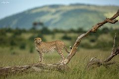 Cheetah surveying its territory (V I J U) Tags: africa travel cats tree male nature log kenya wildlife safari ke trunk cheetah mammals territory masaimara 2016 narok canon5dmarkiii ef500mmf4lisii vijujose