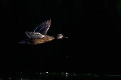 _F0A2825.jpg (Kico Lopez) Tags: birds rio spain aves galicia lugo mio anasplatyrhynchos anadeazulon