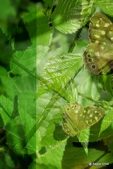 #insearchofbutterflies (macushla63) Tags: green collage groen butterflies vlinders insearchofbutterflies