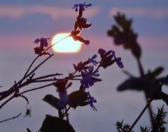 Campion Sunset (farwest56) Tags: cornwall stives olympus sz31mr rosewall campion wildflower sunset sea evening